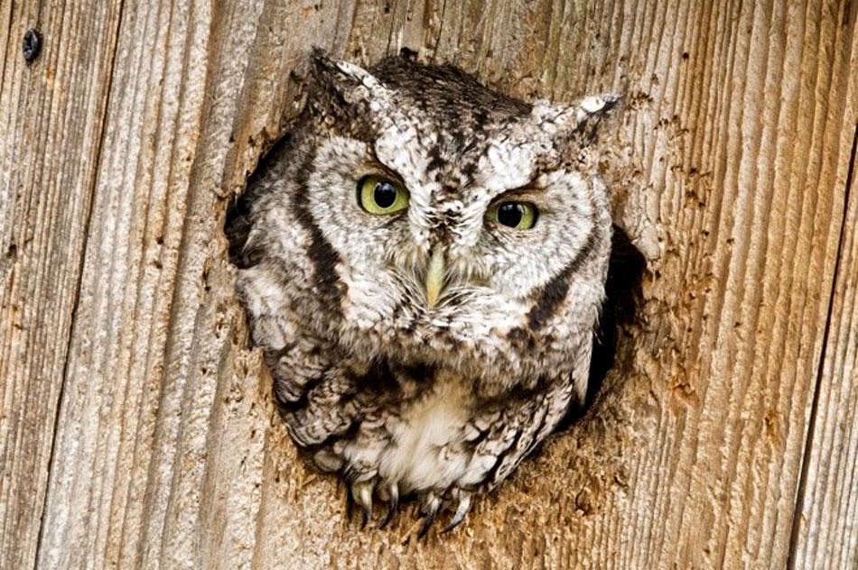 eastern screech owl in a nest box
