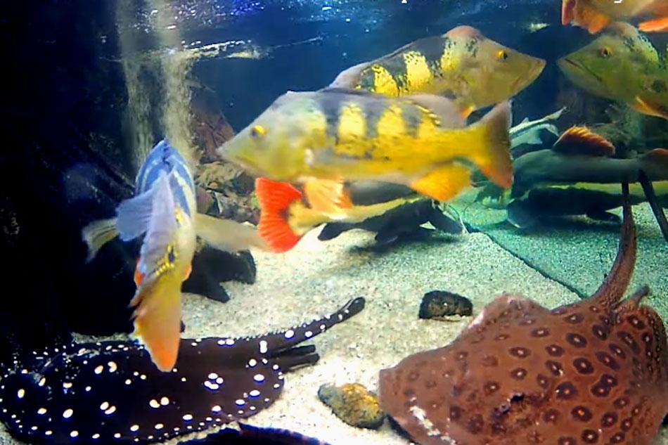 aquarium with south american fish species