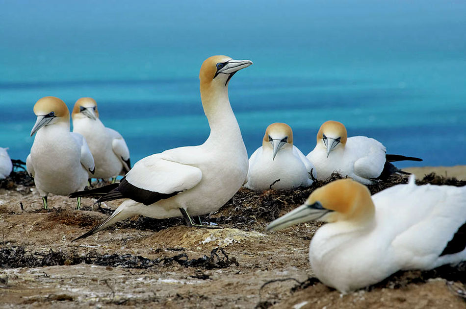australasian gannet colony