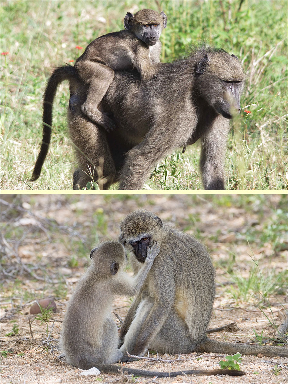 Portraits of Baboon and vertvervet monkey
