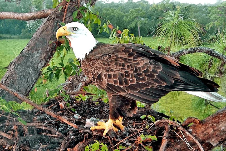 Bald Eagle sitting on its nest