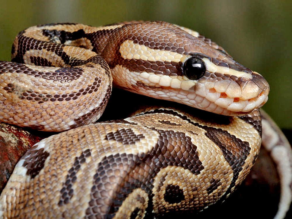 ball python coiled up