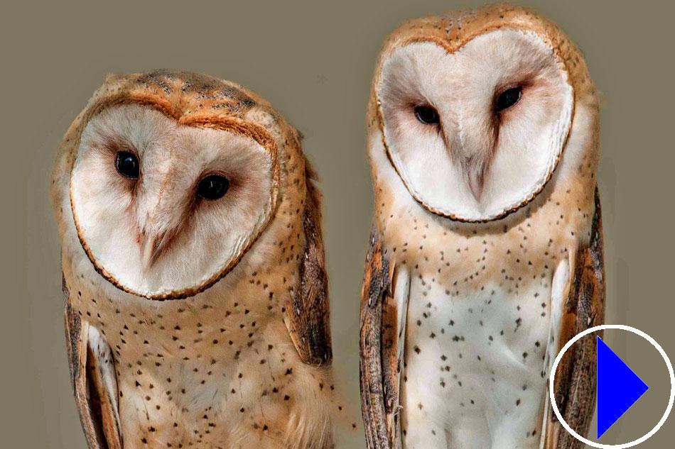 Live Webcam   Barn Owl Nesting   Cornwall
