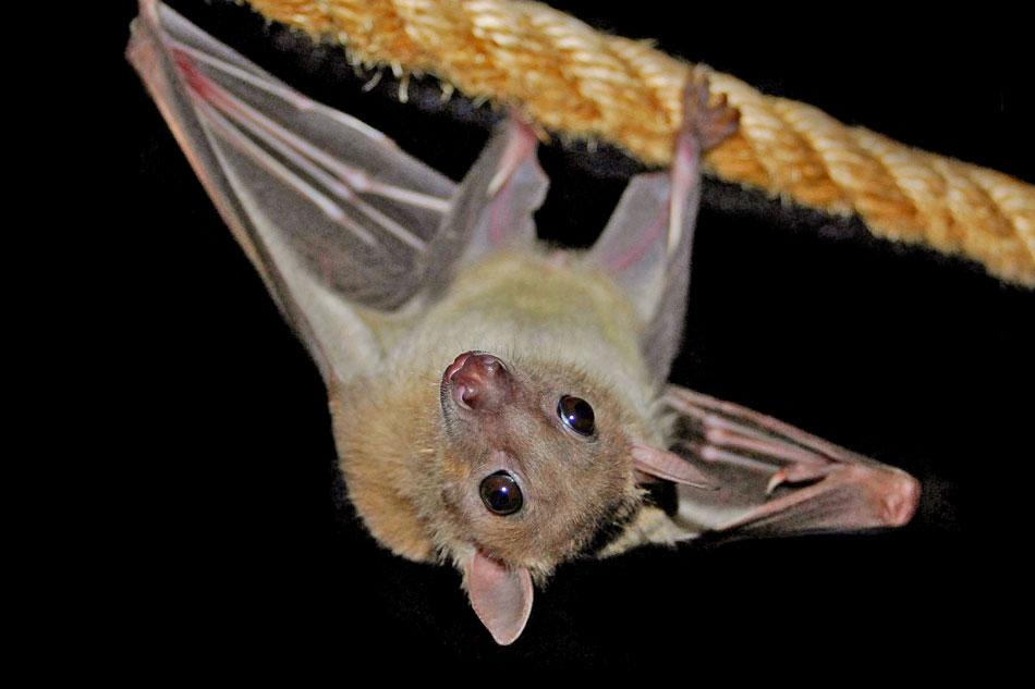 small bat hanging
