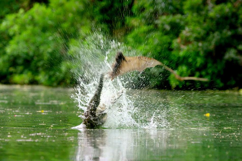 crocodile snatching at a passing bat