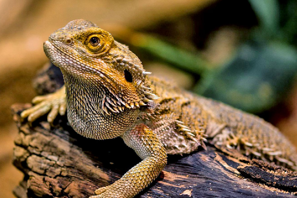 downs bearded dragon