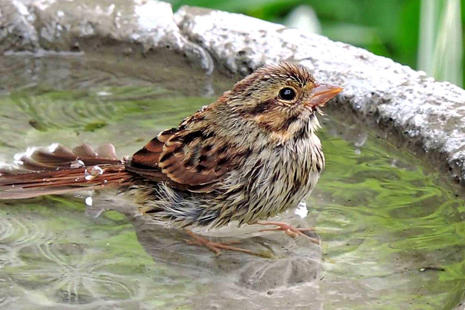 house sparrow bathing