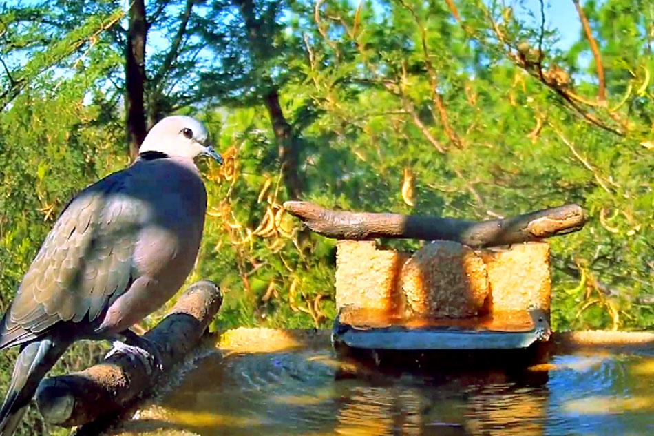 turtle dove at a birdbath
