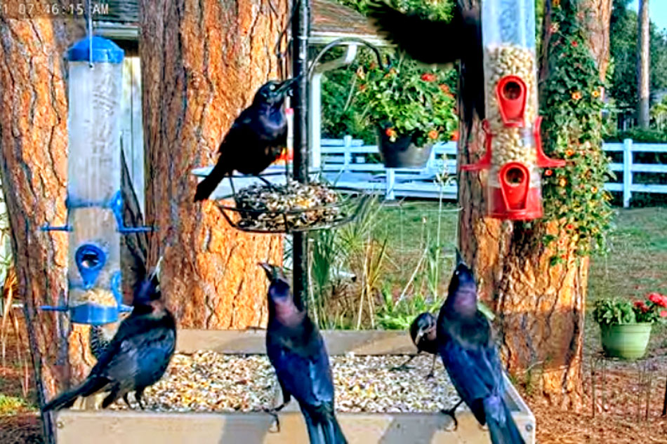 grackles at a feeder