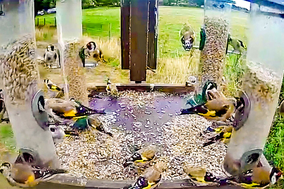 goldfinches at a feeder
