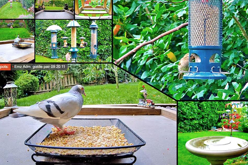 magpie feeding in a garden