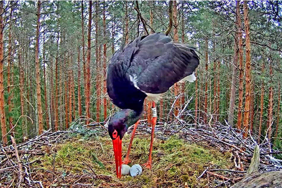 black stork on a nest