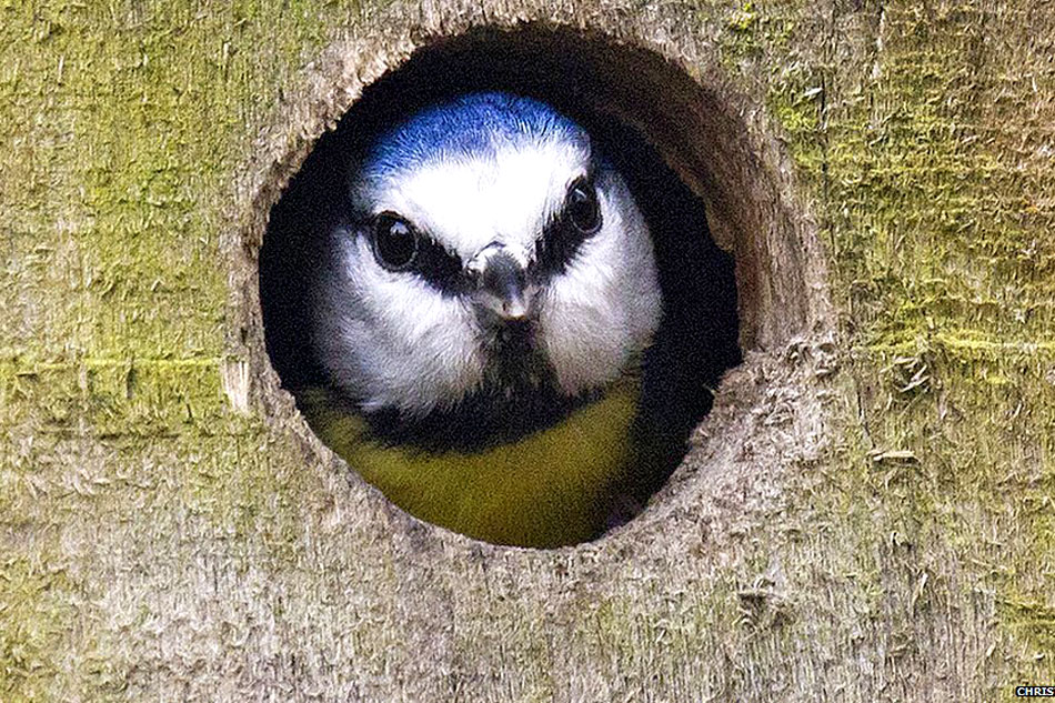 blue tit at entrance to nest box