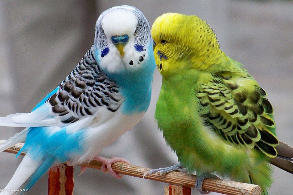 Green and Blue Budgies Kissing