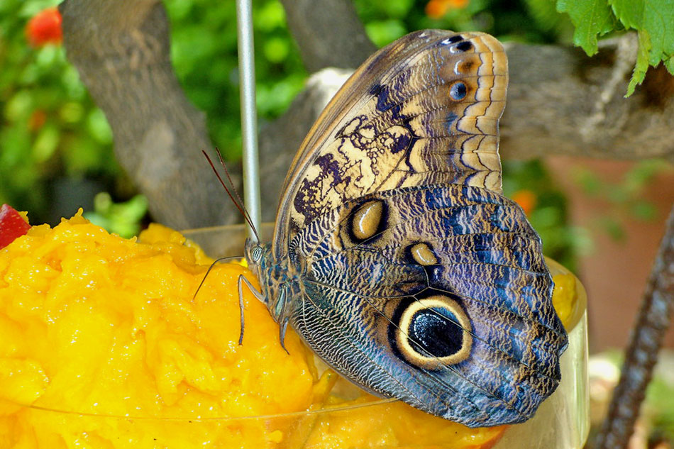 Giant Owl butterfly feeding on a mango