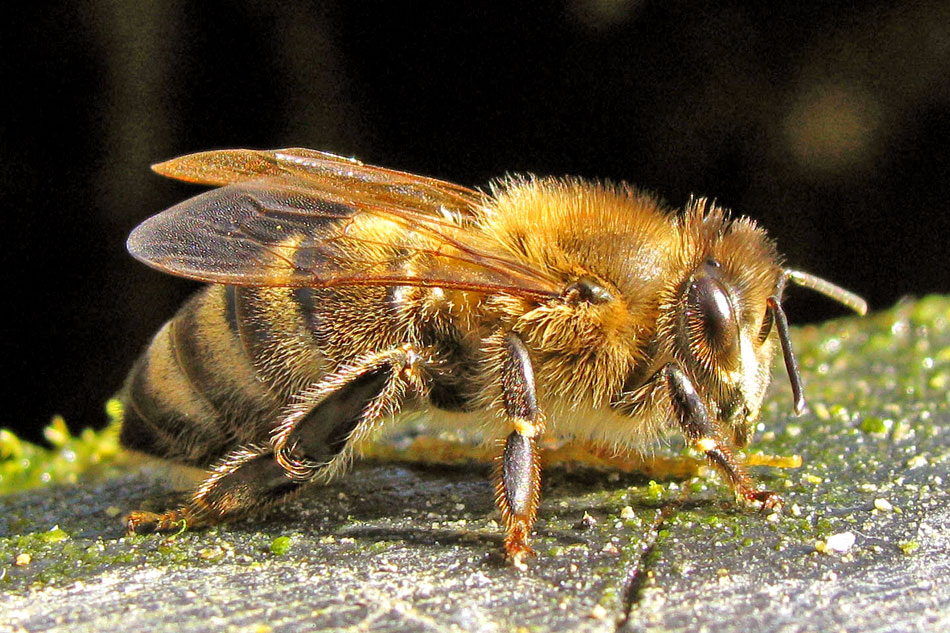 carniolan honey bee in close up