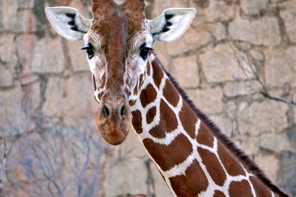 reticulated giragge