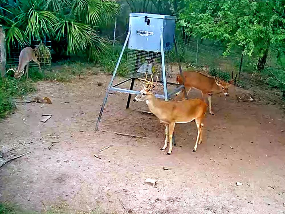 deer at a feeder