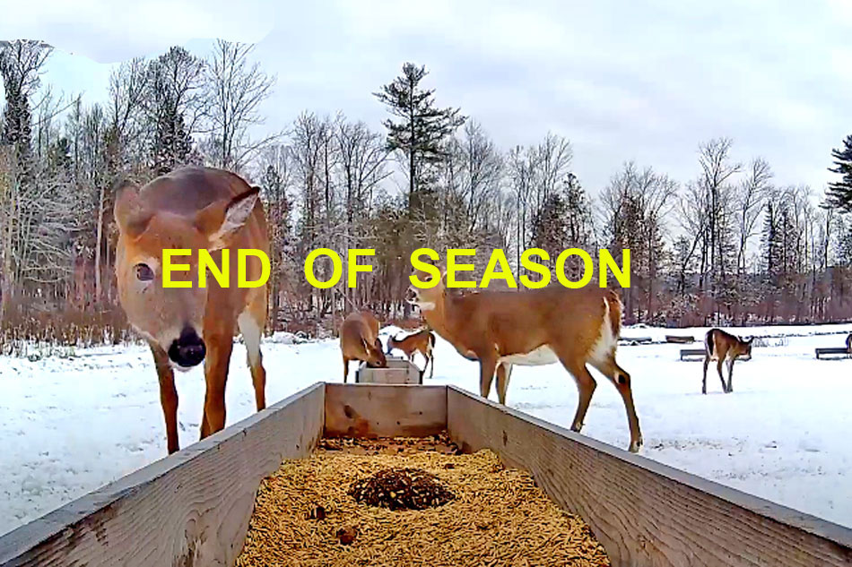 White Tailed Deer at a feed trough