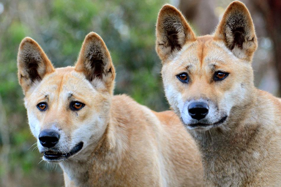 two dingos