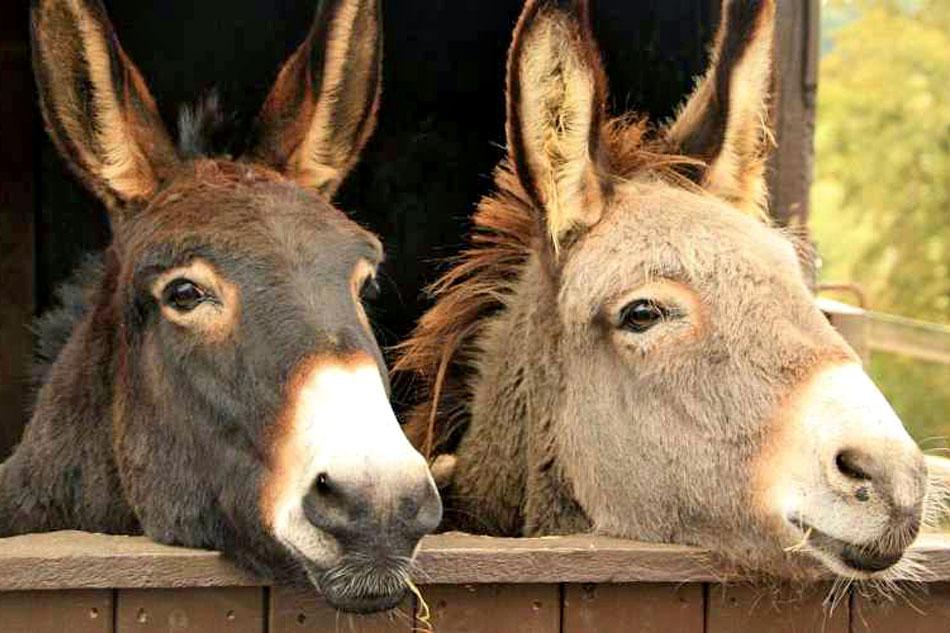 two donkeys looking over stable door