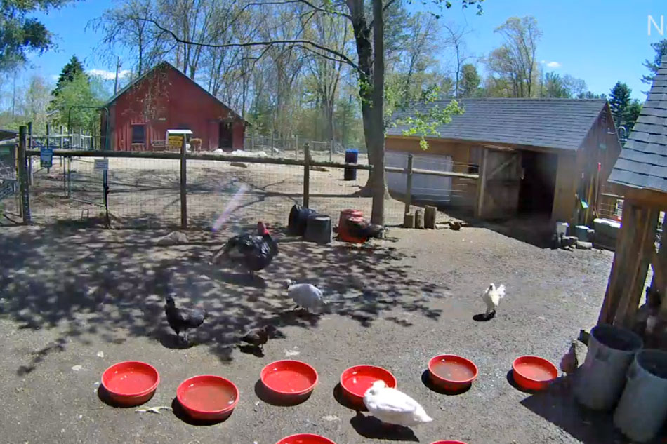 poultry in a yard