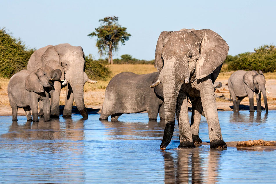 african elephants drinking at a river