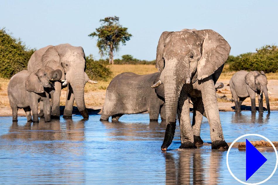 Live Webcam | Elephants and African Wildlife | Botswana