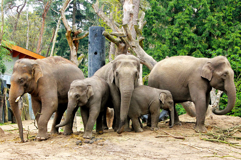 group of asian elephants in a zoo