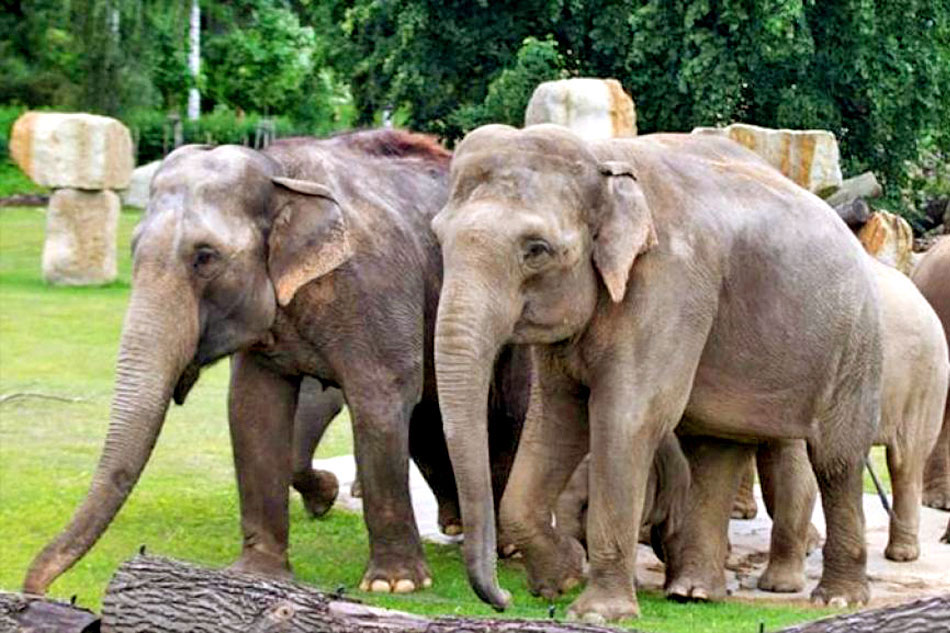 Indian Elephants at Praque Zoo