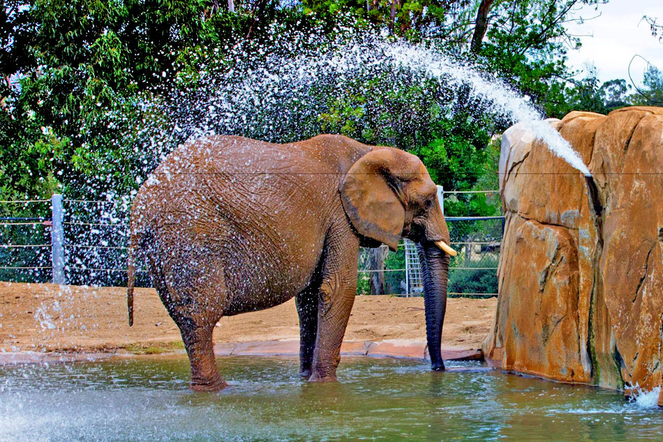 elephant showering with water