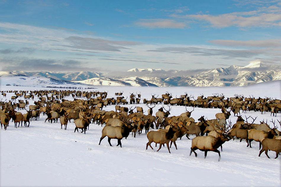 wild elk in wyoming