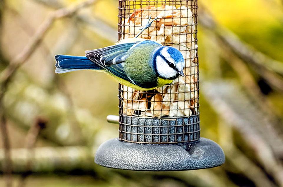 blue tit at a feeder