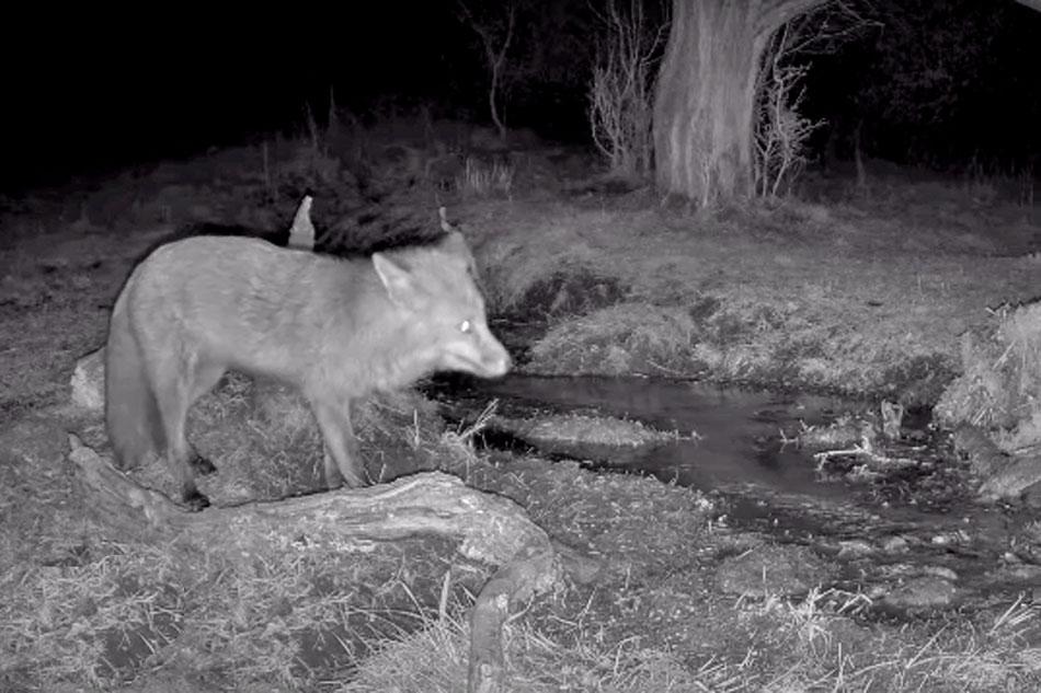 fox at night in denmark