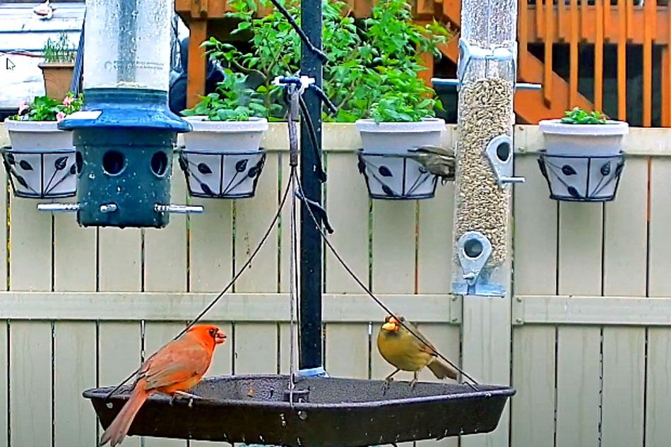 cardinals at a feeder