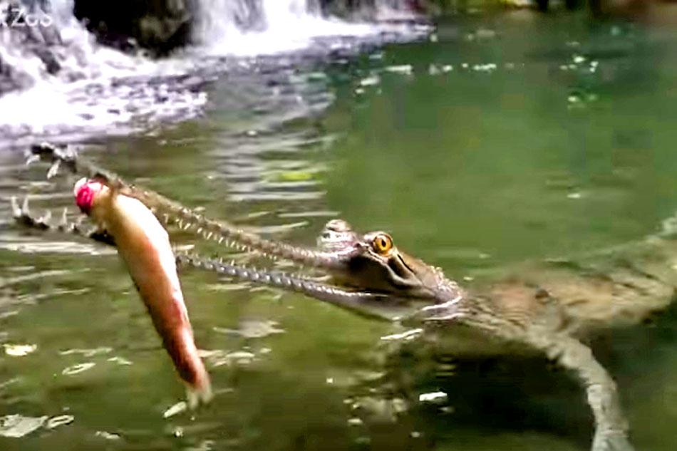 Gharial crocodile eating a fish