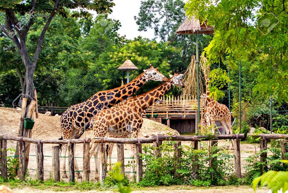 giraffes at budapest zoo