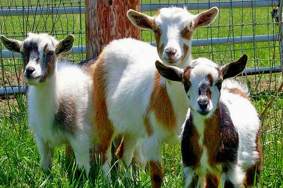 Nigerian Dwarf Dairy Goats Playing