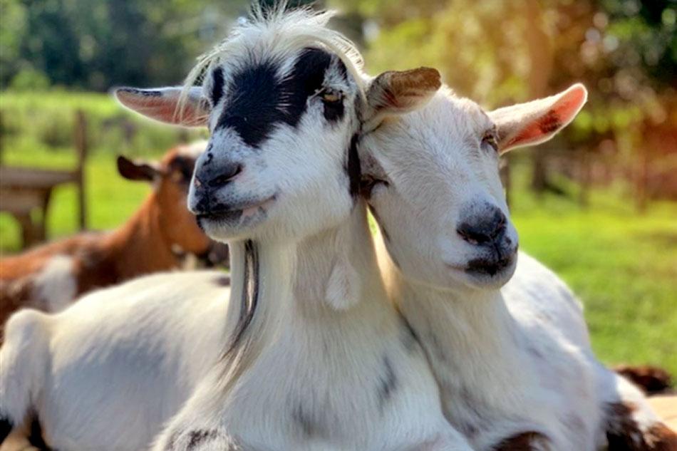 two goats rubbing heads