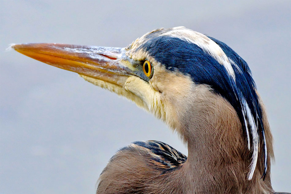 Portrait of a Great Blue Heron