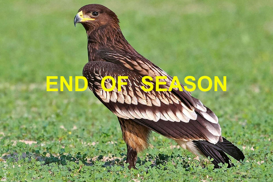 greater spotted eagle on the ground