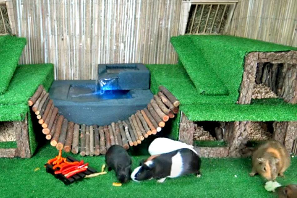 Guinia pig house