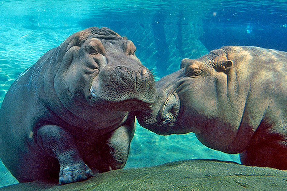 two hippos at the zoo
