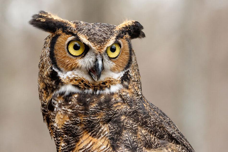 great horned eagle owl