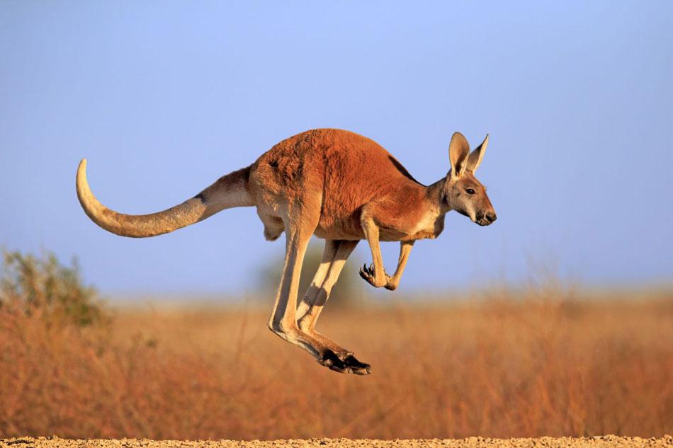 leaping red kangaroo