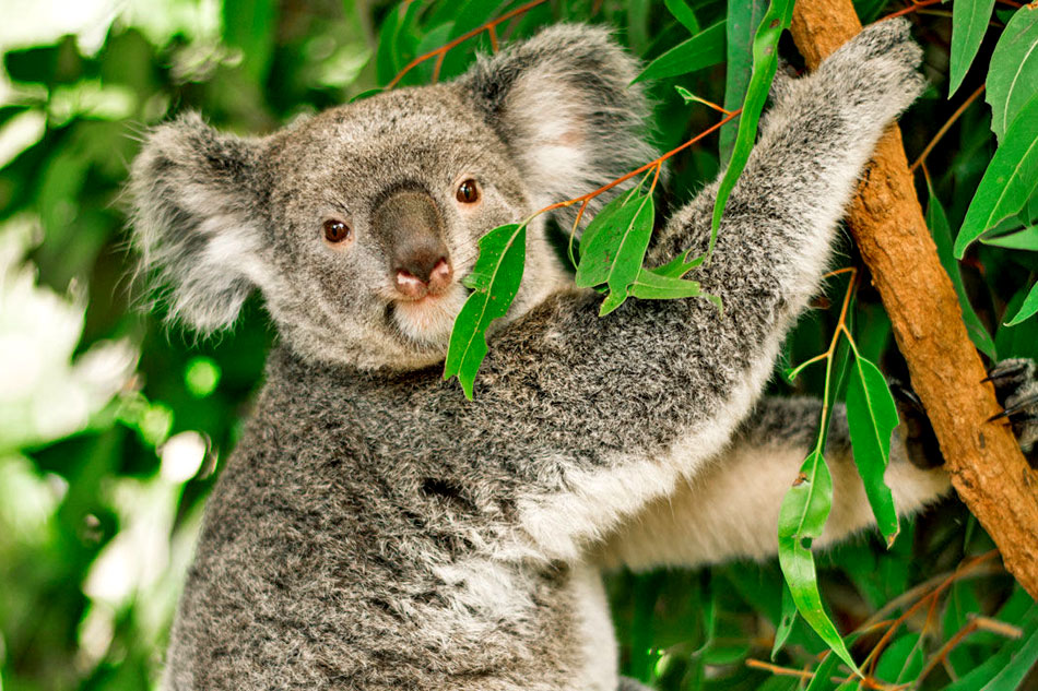 koala bear clinmbing a tree