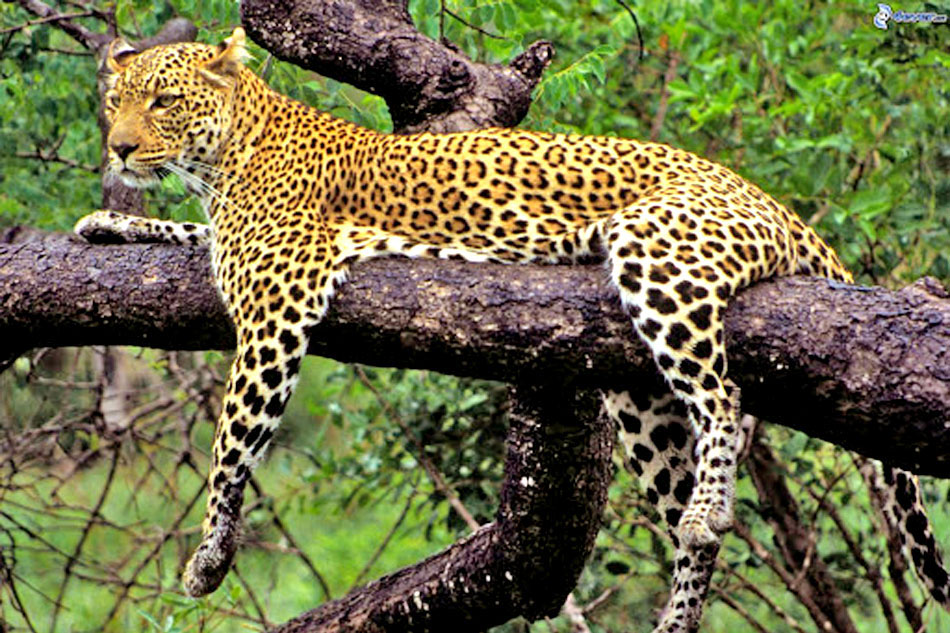 Leopard resting omn a branch