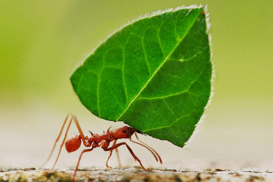 a leaf cutter ant carrying leaf piece
