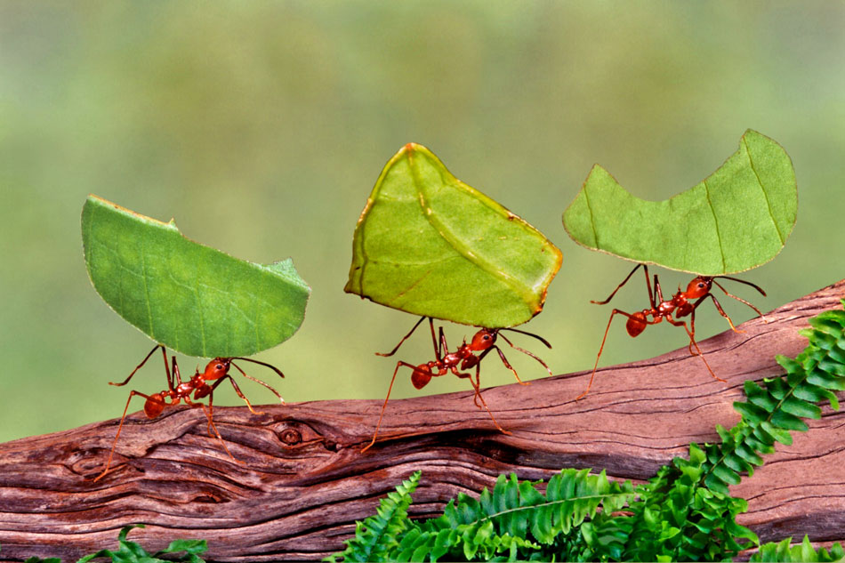 leafcutter ants carrying leaves