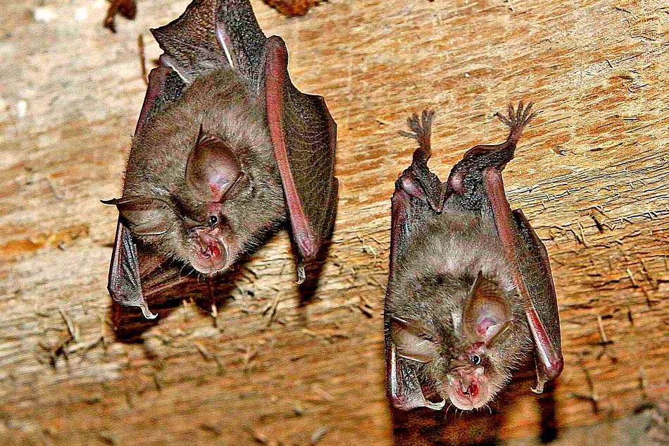 lesser horseshoe bats hanging